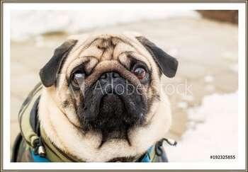 Poster encadré Dog breed pug. Portrait of a pet