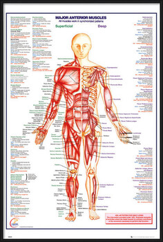 Poster encadré Human Body - Major Anterior Muscles